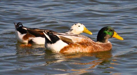 ducks companions
