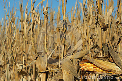 ears if corn