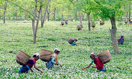 tea harvest in assam