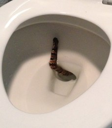 snake in crapper