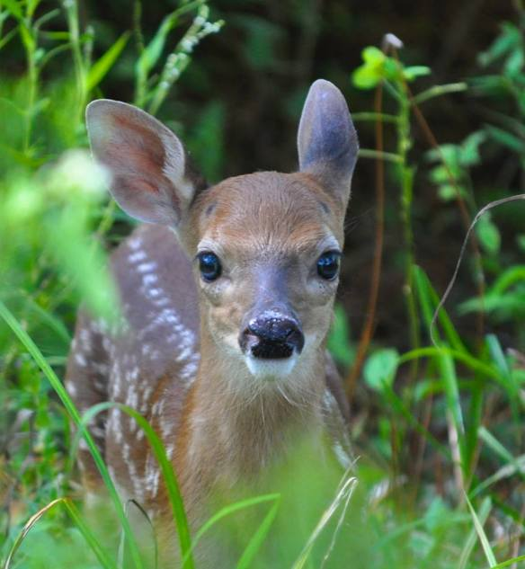 FAWN DELIGHT