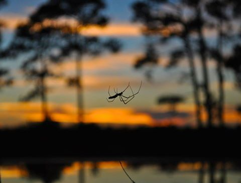 sunset spider