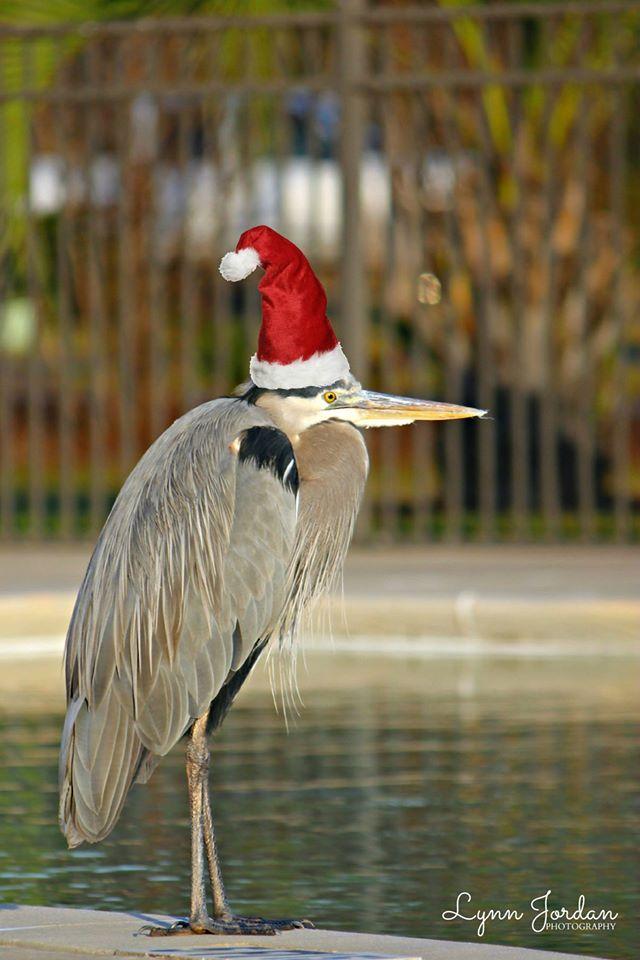 Charles Christmas Heron