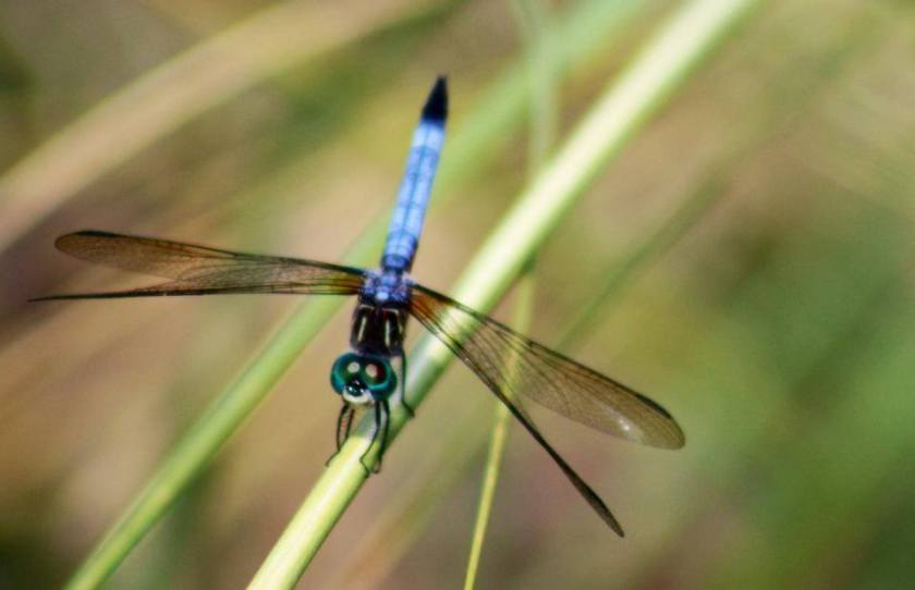 dragonfly d.williams