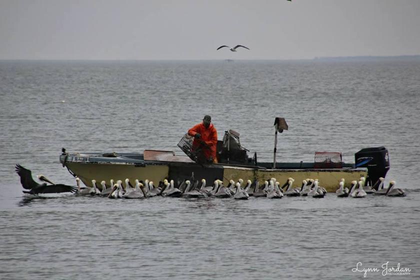 Zeb & pelicans