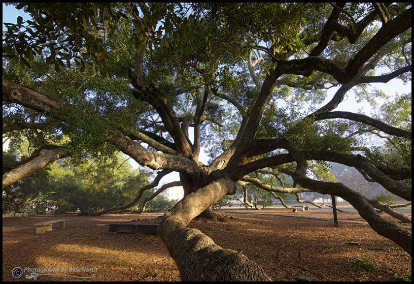 friendship oak, alex north