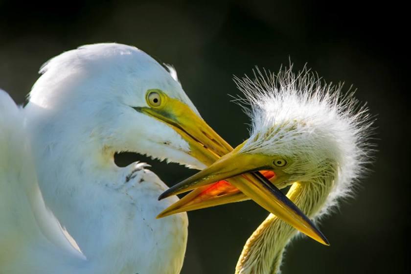 crossed beaks