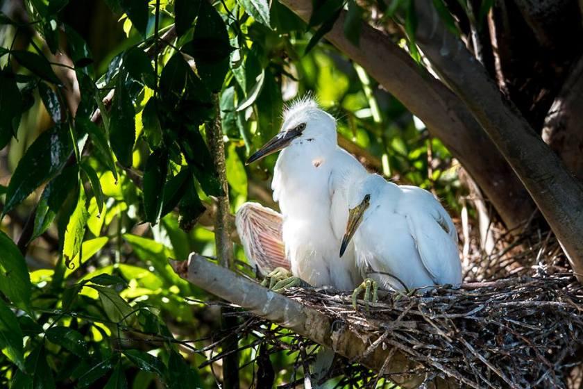 egret babies