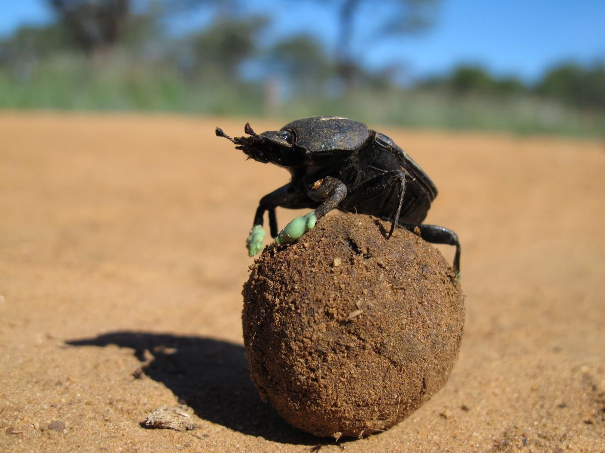 Rolling, Rolling, Rolling (Dung Beetle Blues)