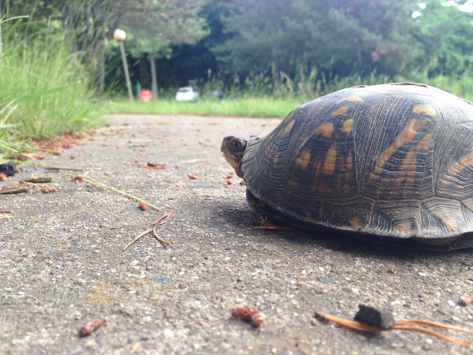 Why Did the Turtle Cross theRoad?