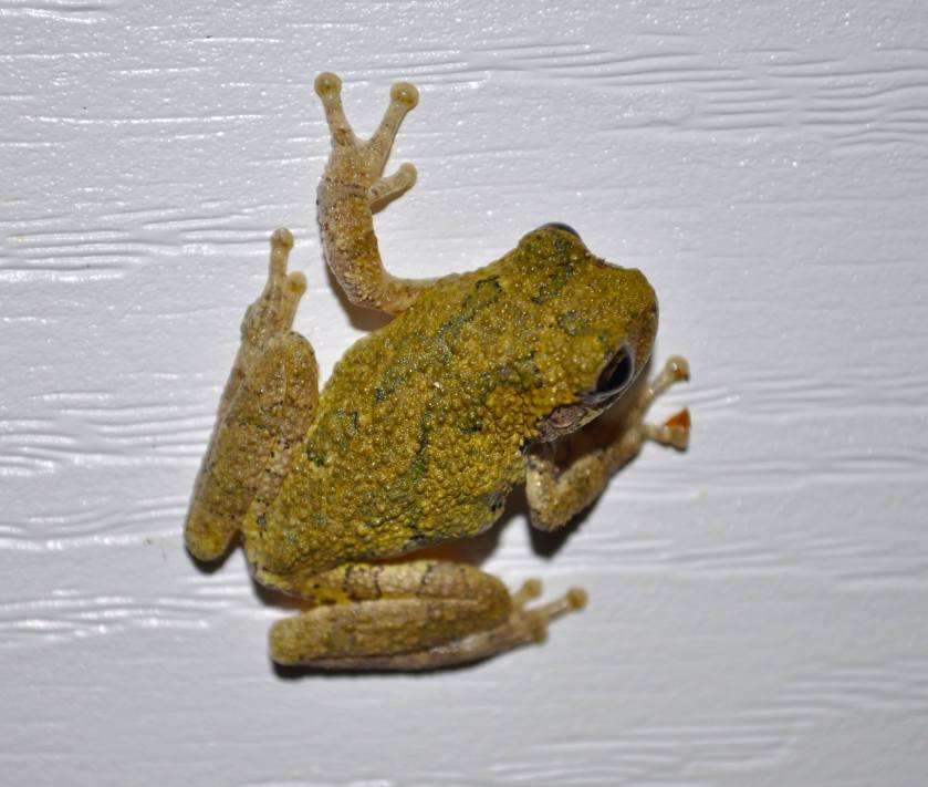 frog on vinyl