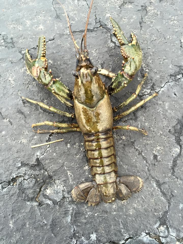golden crawfish