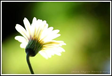 light bulb daisy