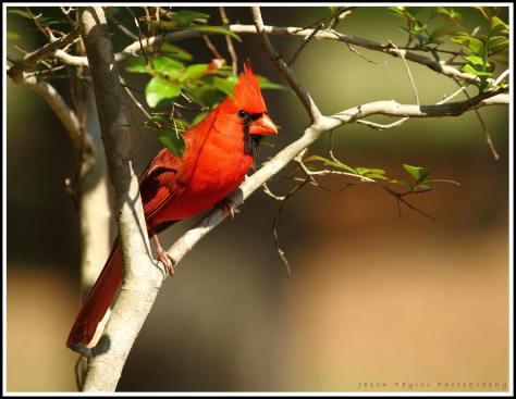 pretty redbird