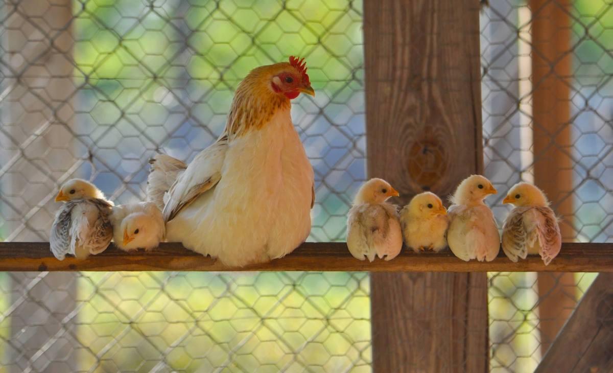 Hen & Chicks #haiku#babychicks