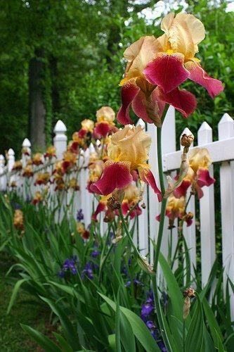 iris picket fence