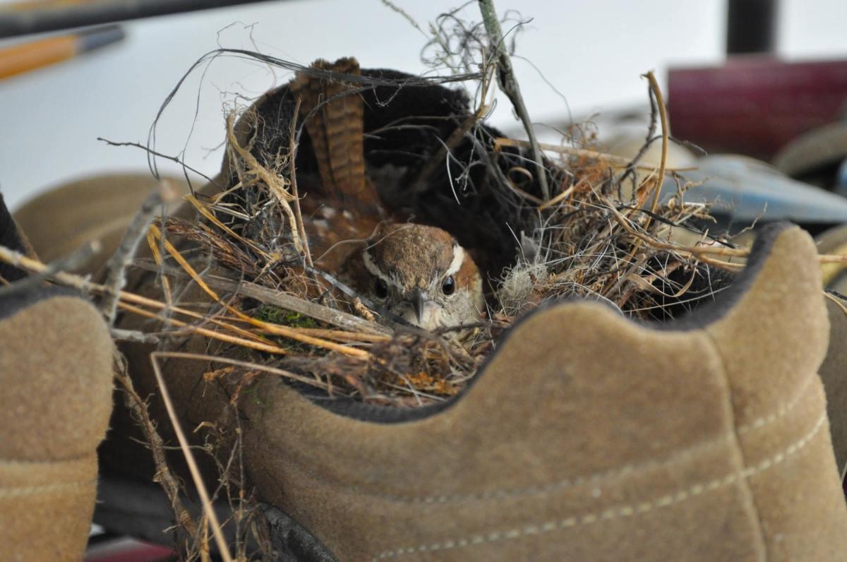 1, 2, Wren In aShoe