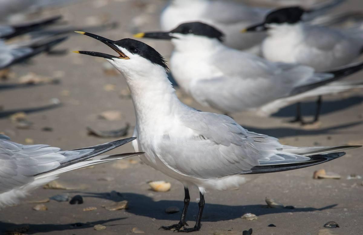 One Good Tern