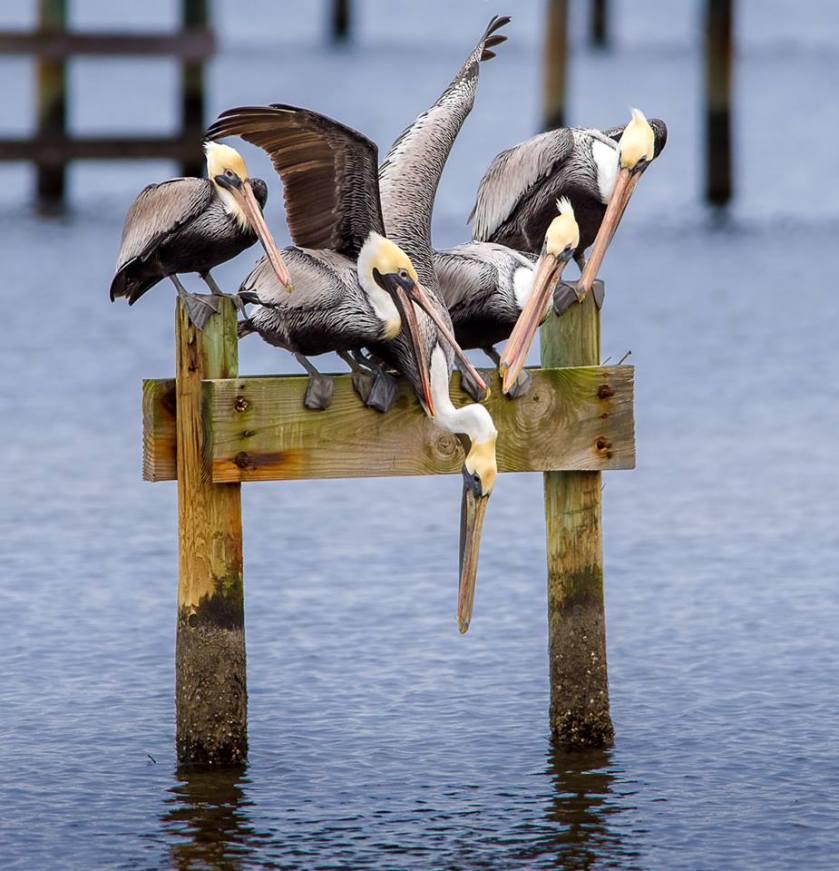 funny pelicans