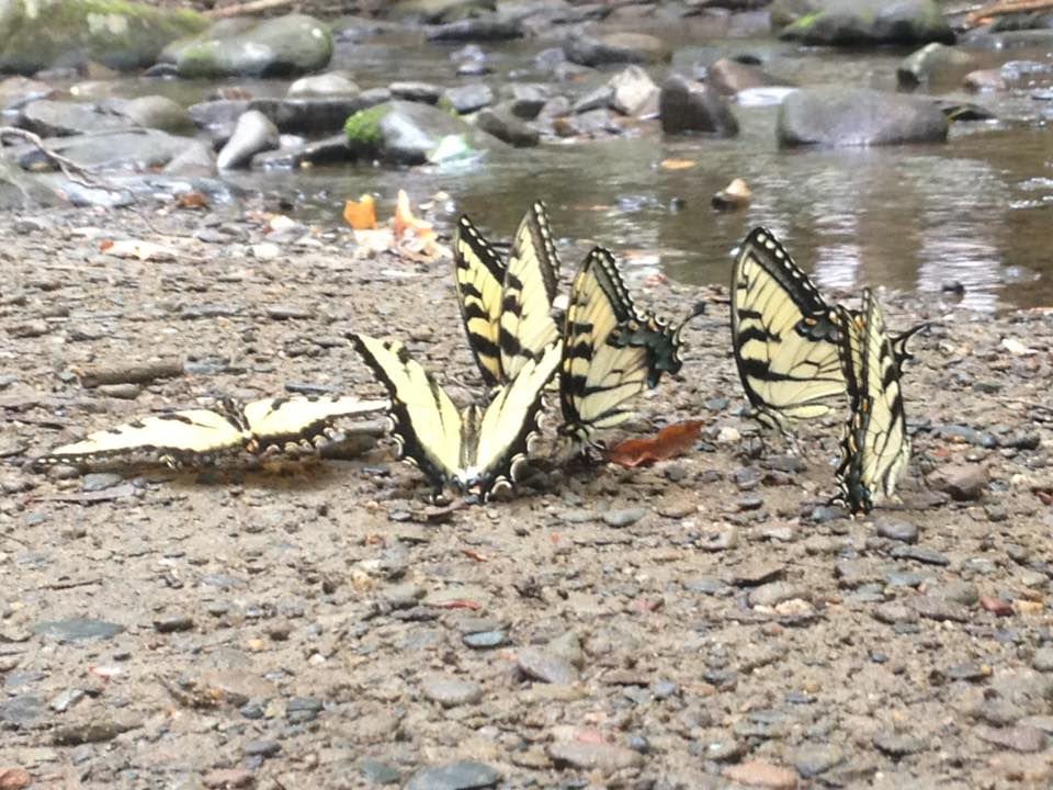 Swallowtail Conclave