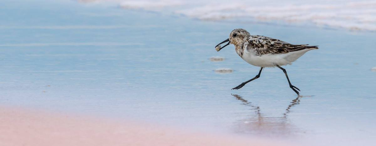 Sanderling With Sand Flea