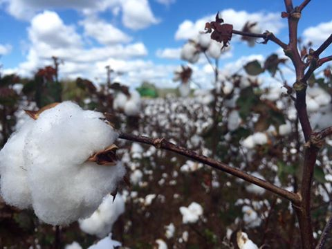 Cotton & Clouds