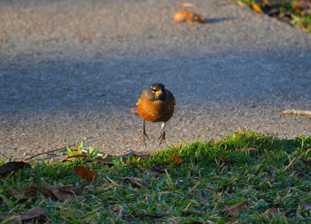Hoppin' Robin
