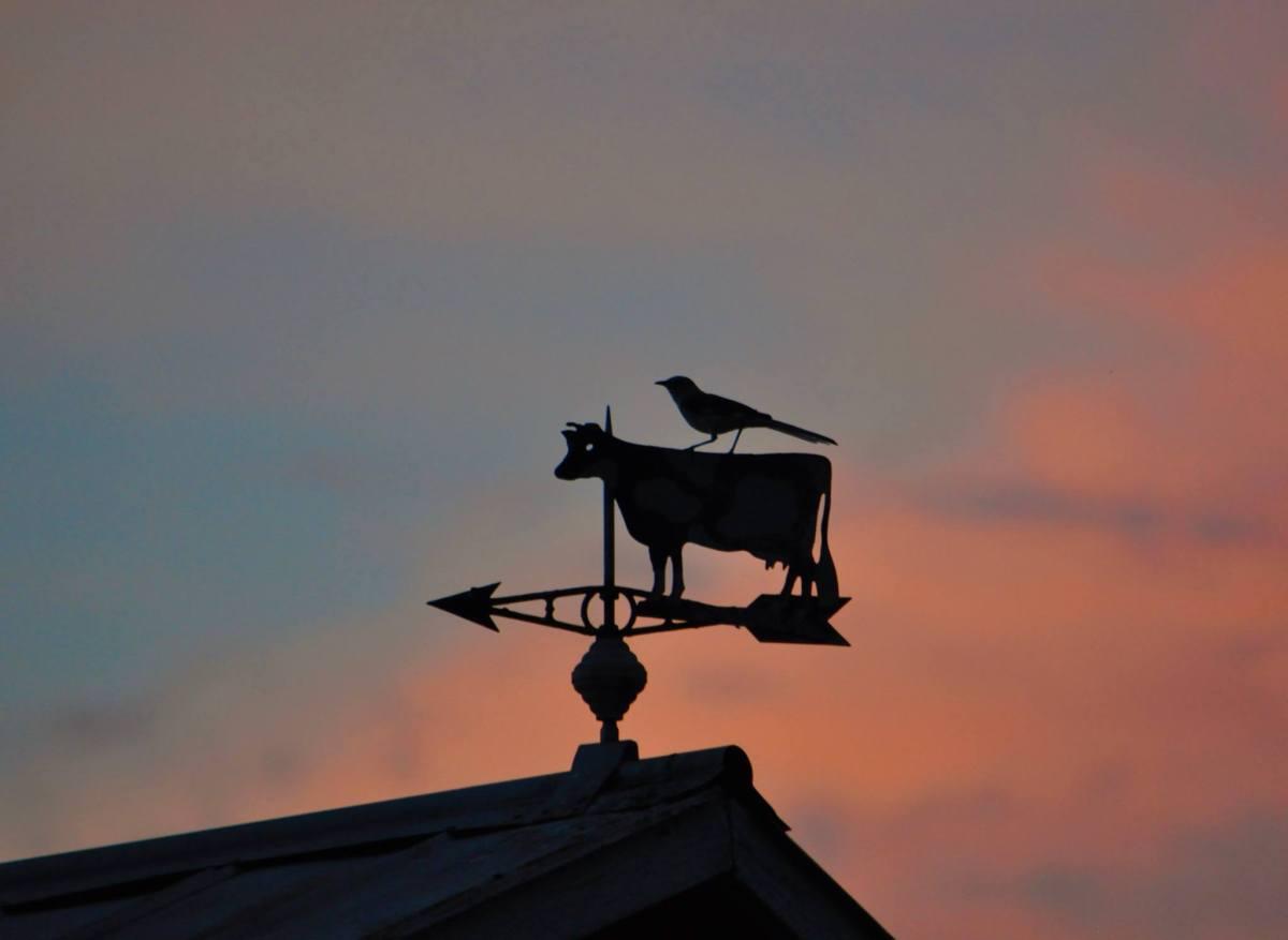 Cow & Mockingbird